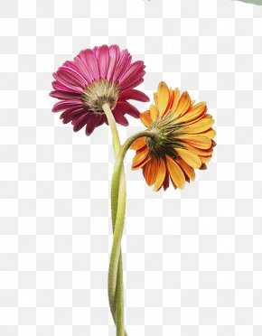Two Gerbera Daisies Tangles - Positive Psychology Of Love The Psychology Of Passion: A Dualistic Model Interpersonal Relationship PNG