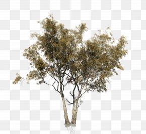 Eucalyptus - Eucalyptus Camaldulensis Tree Woody Plant Trunk PNG