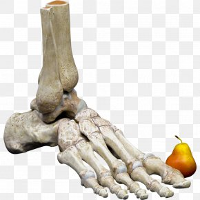 Human Skeleton Bone Foot Anatomy Human Body PNG