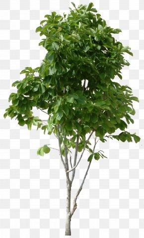 Tree Image, Free Download, Picture - Tree Hamamelis Virginiana Trunk Shrub Plant Stem PNG