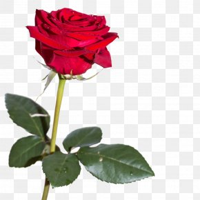 Rose Plants - Petals Around The Rose Stock.xchng Woman PNG