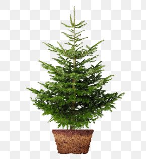 Christmas Tree - Christmas Tree Nordmann Fir Norway Spruce Christmas Day Image PNG