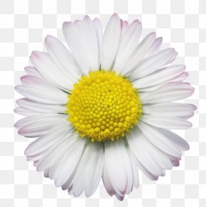 Flower - Common Daisy Royalty-free Stock Photography PNG