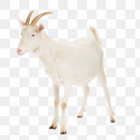 Les Animaux De La Ferme - Nigerian Dwarf Goat Cattle Rove Goat Russian White Goat Livestock PNG