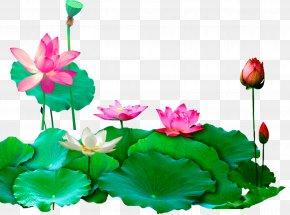 Lotus Lotus - Download PNG