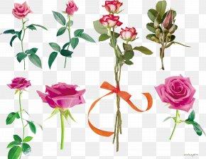 Pink Roses - Garden Roses Flower Centifolia Roses Pink Petal PNG