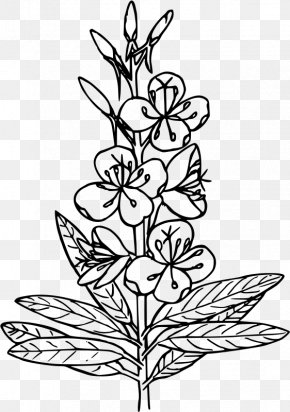 Fireweed - Drawing Coloring Book Black And White Clip Art PNG