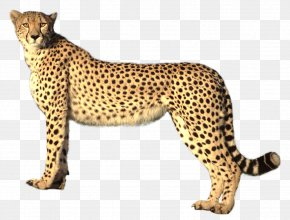 Cheetah - Savannah Cat Cheetah Felidae Lion Jaguar PNG