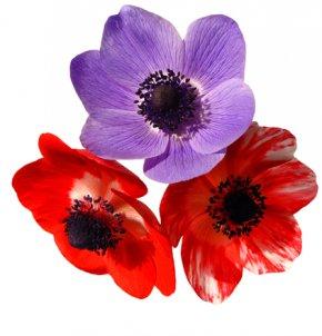 Flower - El Temps A Catalunya Dia A Dia Red Flower Purple PNG