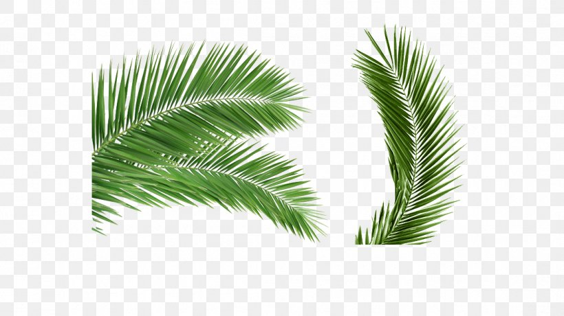 Arecaceae Palm Branch Leaf Coconut Clip Art, PNG, 1105x620px, Arecaceae, Arecales, Coconut, Evergreen, Flowerpot Download Free