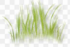 Grass - Grass Herbaceous Plant Drawing Lawn Image PNG
