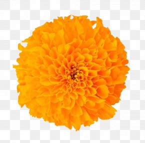 Marigold Flower - Mexican Marigold Dietary Supplement Baileya Multiradiata Flower Lutein PNG