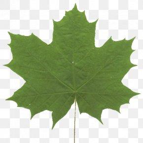 Leaf - Maple Leaf Green Grape Leaves Symmetry PNG