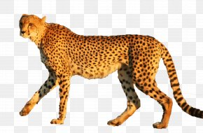 Cheetah - Cheetah Leopard Jaguar Animal Cat PNG
