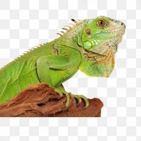 HD Chameleon Image - Green Iguana Lizard Reptile Chameleons Terrarium PNG