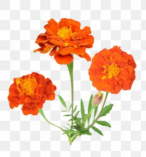 Marigold Flower Material - Mexican Marigold Flower Stock Photography PNG