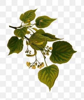 Decorative Plants - Tilia Cordata Kxf6hlers Medicinal Plants Tree Tilia Xd7 Europaea Botanical Illustration PNG