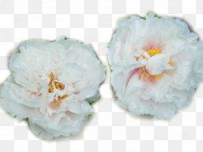 Two White Peony - Heze Moutan Peony Paeonia Lactiflora PNG