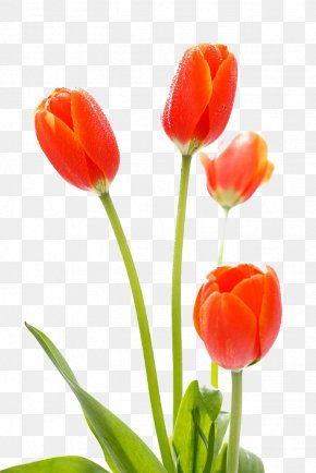 Tulip Flowers - Tulip Cut Flowers PNG