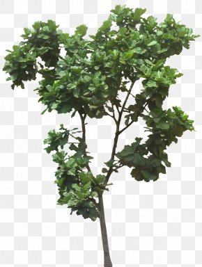 Jungle - Fiddle-leaf Fig Ficus Microcarpa Weeping Fig Common Fig Plumeria Rubra PNG