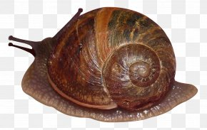 Snail - Sea Snail PNG