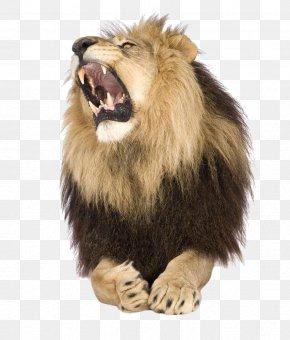 Howling Beast Lion - Lion Roar Stock Photography Shutterstock PNG