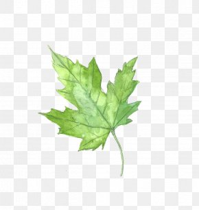 Drawing Plant - Maple Leaf Watercolor Painting PNG