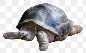 Tortoise - Boxer Dobermann Tortoise PNG