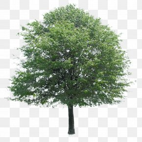 Trees - Tree Stock Photography Architecture PNG