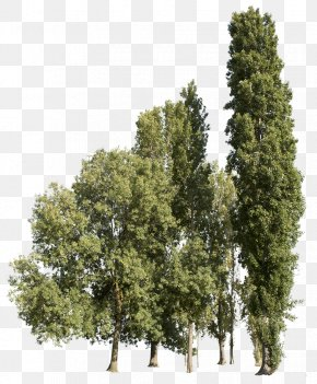Tree - Plane Trees Tipa Adobe Photoshop Design PNG