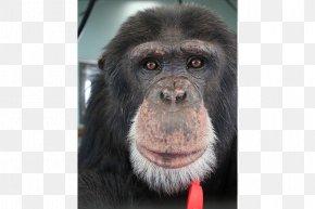 Chimpanzee - Common Chimpanzee Gorilla Primate Siamang Monkey PNG