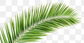 Beach Leaves - Palm Branch Arecaceae Leaf Frond PNG