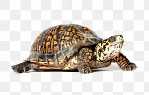 Turtle - Turtle PNG