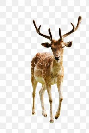 Deer - Red Deer Elk Reindeer White-tailed Deer PNG