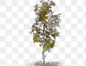 Plane Trees Leaf Plane Tree Family PNG