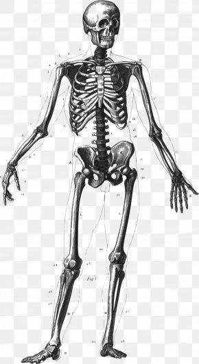 Diagram Clipart - The Human Skeleton Human Body Homo Sapiens Anatomy PNG