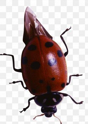 Beetle Coccinella Septempunctata Ausmalbild Clip Art Png