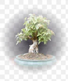 Brush Pot - Sageretia Theezans Bonsai Chinese Elm Zelkova Carpinifolia PNG