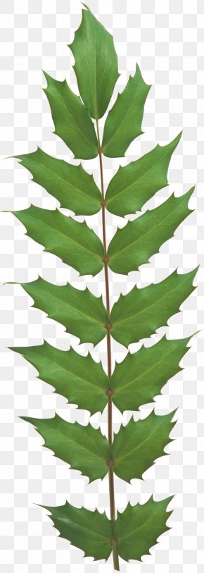 Leaf - Leaf Evergreen Plant Stem Tree Vascular Plant PNG