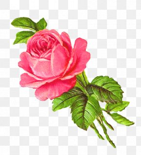 Rose - Rose Flower Pink Drawing Clip Art PNG