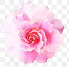 Perennial Plant Camellia - Pink Flowers Background PNG