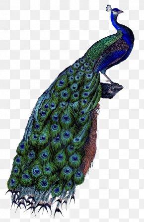 Feather - Pavo Coton De Tulear Clip Art PNG