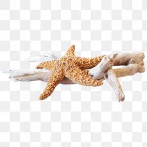 Creative Star Coral Beach - Starfish Invertebrate Sea Illustration PNG