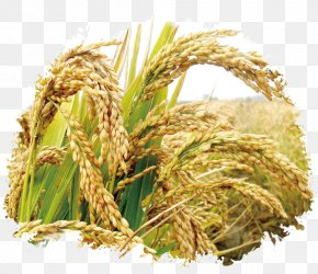 Rice Publicity - Rice Seed Cereal Germination Wheat PNG