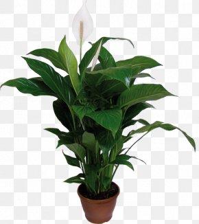 Mini Schefflera Bonsai - Spathiphyllum Wallisii Houseplant Plants Flowerpot Dumb Canes PNG