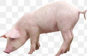 Pig Image - Miniature Pig Vietnamese Pot-bellied Livestock PNG