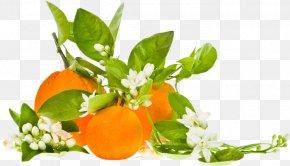 Orange - Clementine Orange Blossom Organic Food Bitter Orange PNG