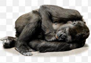 Gorilla - Gorilla Ape Primate Monkey Macaque PNG