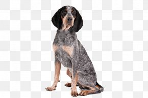 Invitations Appearance - Bluetick Coonhound Treeing Walker Coonhound American English Coonhound Black And Tan Coonhound Redbone Coonhound PNG