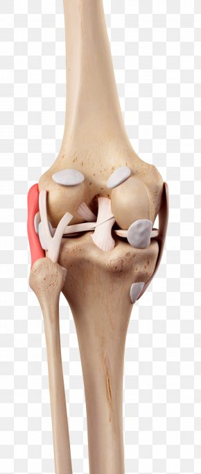 Human Knee Model - Knee Medial Collateral Ligament Fibular Collateral Ligament Anterior Cruciate Ligament PNG